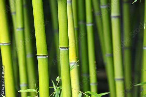 Bamboo bambus