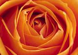 Fototapete Straus - Hintergrund - Blume