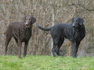 CURLY COATED RETRIEVER.