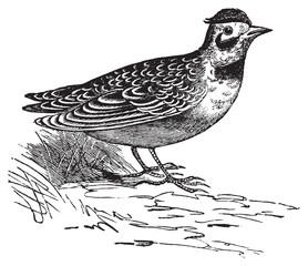 Horned lark or Eremophila alpcstris vintage engraving.
