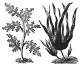 Pepper dulse, red algae or Laurencia pinnatifida (left). Oarweed poster