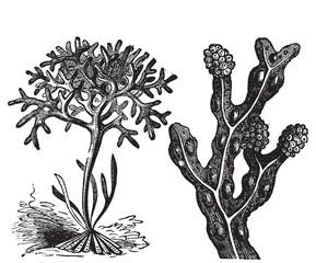 Chondrus crispus , irish moss or Fucus vesiculosus, bladderwrack