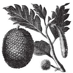Breadfruit, Artocarpe or Artocarpus altilis old engraving.