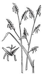 Arundinaria or Arundinaria macrosperma