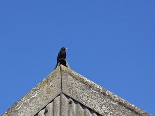 blackbird on a roof