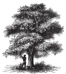 Artocarpe, Breadfruit or Artocarpus altilis old engraving.