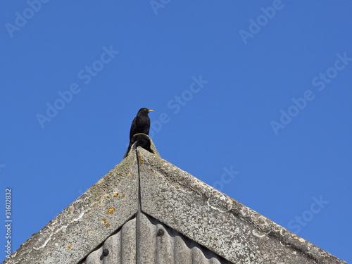 blackbird on a roof