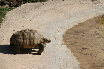 Giant Tortoise going to water