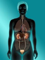 Frau mit Harnsystem und inneren Organen