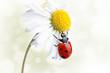 Ladybird on daisy flower
