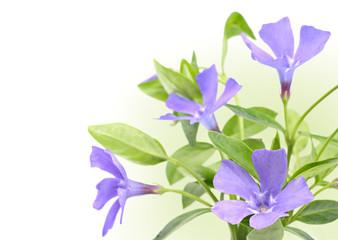 Vinca minor flowers