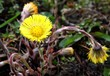 yellow flowers of coltsfoot