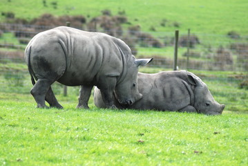 A pair of baby white rhinos