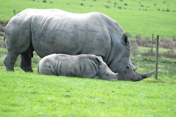 Mother and baby white rhinos