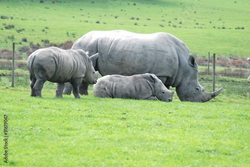 Mother and two baby white rhinos