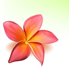 Photo-realistic vector beautiful pink plumeria flower
