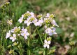 wild watercress withn lila flowers