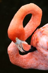 Carribean Flamingo Bird
