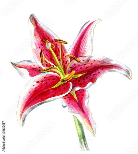 purpurowa-lilia