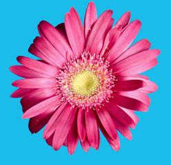 colorful germini flower