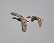 Male and Female Mallard in Flight
