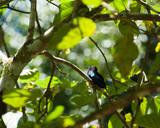 Petit oiseau colibri bleu, Guadeloupe