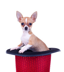 Chihuahua in a red hat