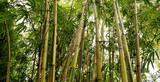 Fototapeta the bamboo groves