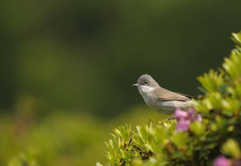 Lesser Whitethroat, Sylvia curruca