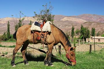 Cheval de gaucho argentin (NOA)