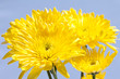 Yellow Daisies on Blue Background