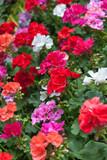 massif fleuri de pélargoniums