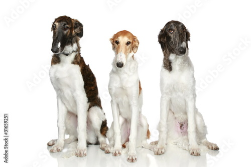 Russian Borzoi puppies (5 months)