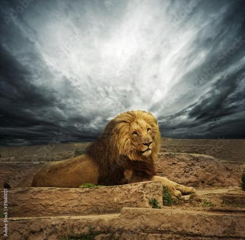 African lion na pustyni