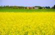 Yellow flowers landscape