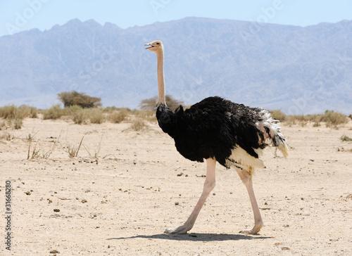 Fotobehang Struisvogel African ostrich
