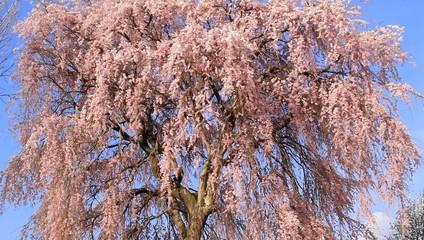 しだれ桜 cherry blossom