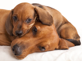 dachshund dog and puppy