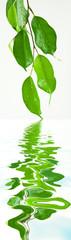 feuilles de figuier pleureur, ficus benjamina