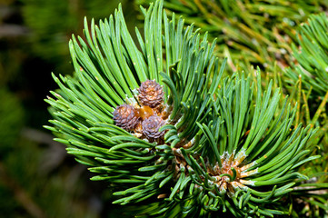 Mountain pine sprout