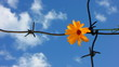 The Flower and barbed wire.