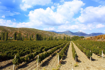 colourful vineyard landscape