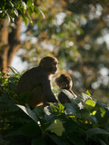 A macaque family showing affection for eachother poster