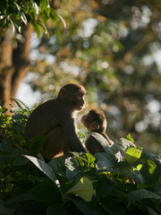 A macaque family showing affection for eachother