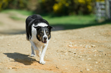 unleashed adult collie dog walking down a sandy lane