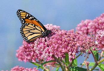 Monarch Butterfly on Swamp Milkweed Wildflower