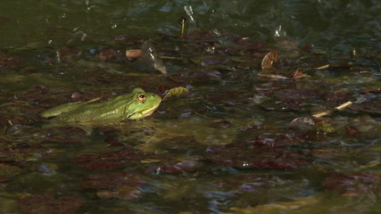 Frog ambush