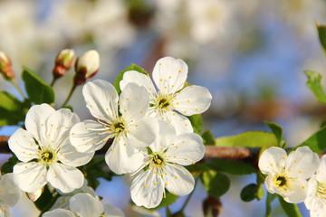 Apfelblüten weiß