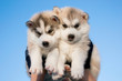 couple of grey siberian husky puppies against the blue sky