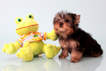 Small dog with a toy.
